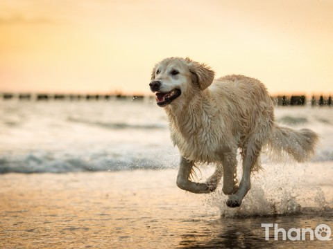 Golden retriever Boullie bij strand Dishoek, Vlissingen
