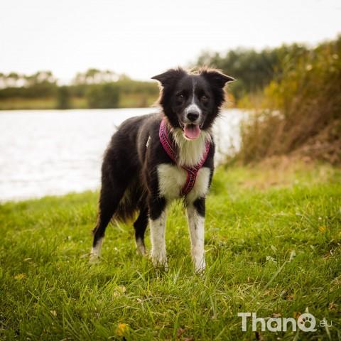 Hondenfoto van Border collie Fenna bij Schelphoek in Serooskerke, Zeeland