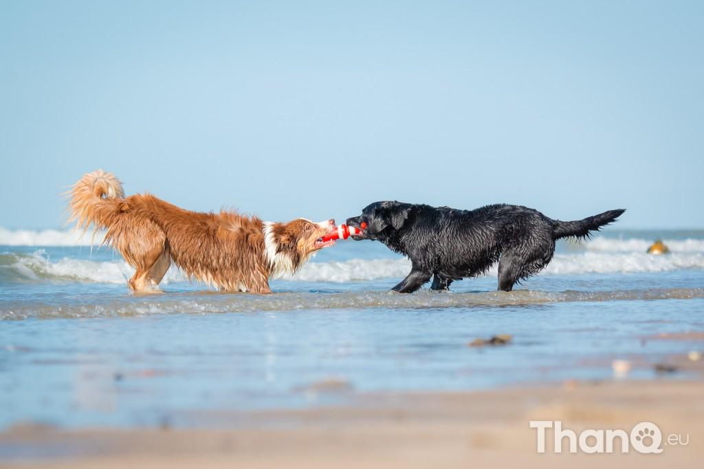 Fotoshoot Mylie (Labrador) en Mellow (Border Collie)