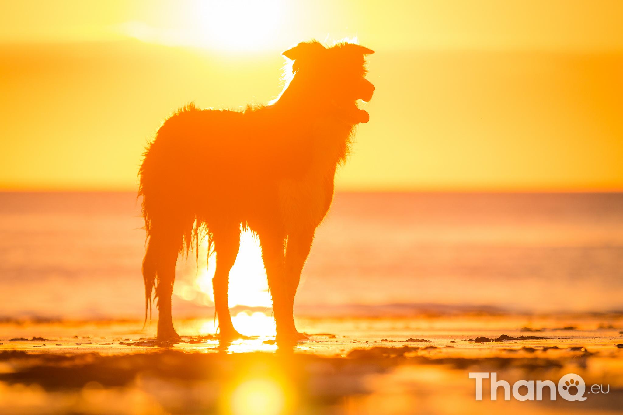 Portfolio hondenfotografie - Border collie Fenna tijdens zonsondergang bij Dishoek, Zeeland
