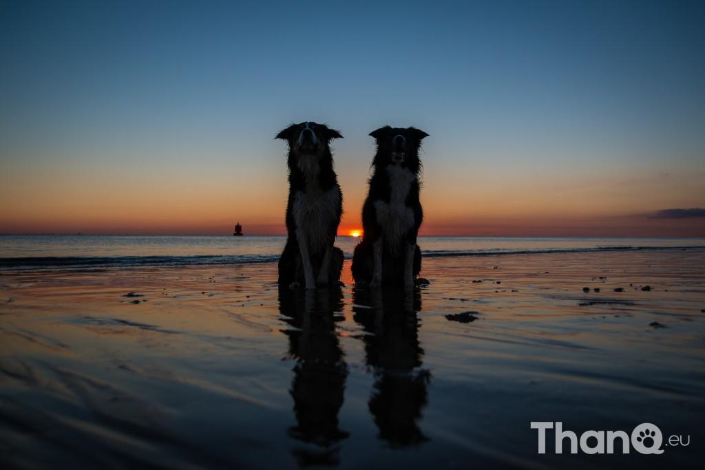 Border collies Jindi en Fenna tijdens zonsondergang bij Dishoek, Zeeland