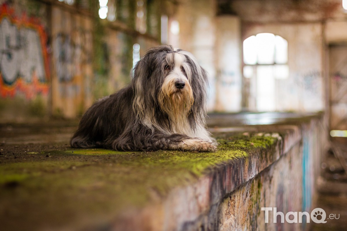 Bearded collie Bo