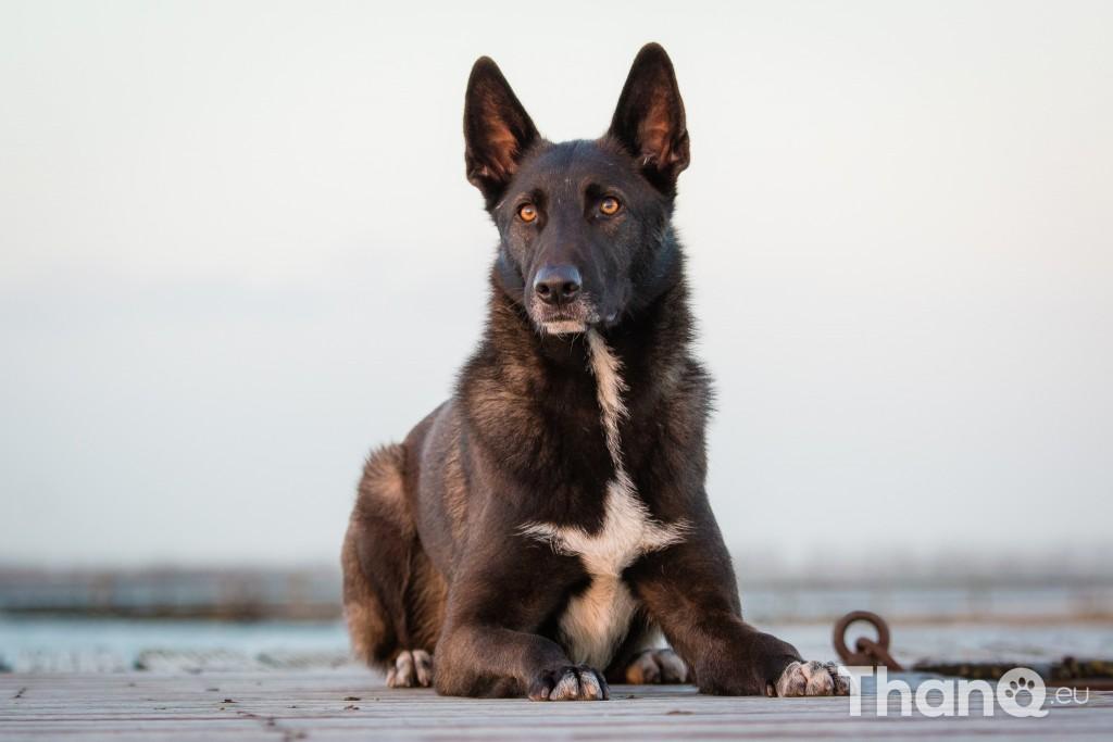 Hondenfoto van Herdershond Melchor bij De Grote Piet