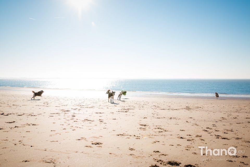 Border collies op het strand bij Vlissingen / Dishoek