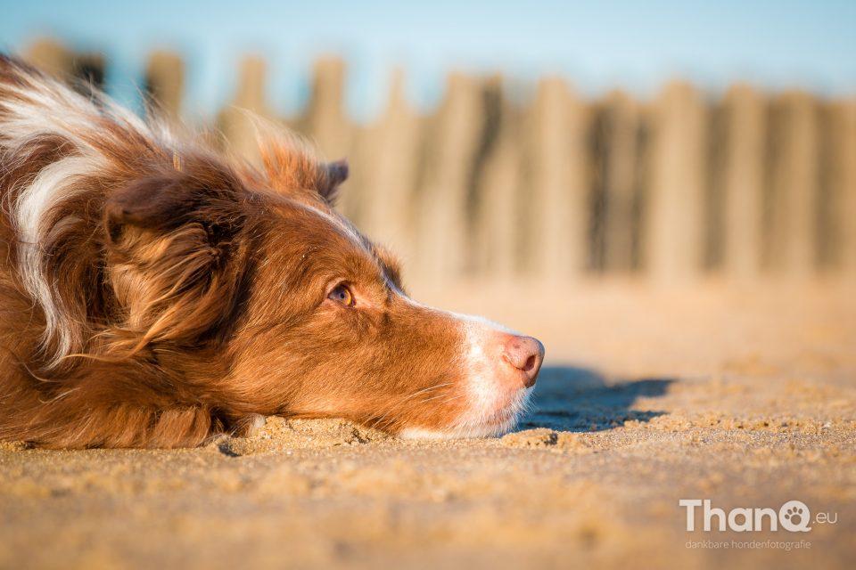 Border collie Maggy op het strand bij Vlissingen / Dishoek