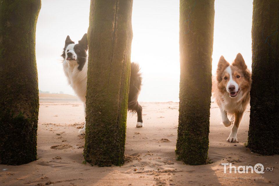 Border collies Kenzo en Kay op het strand bij Vlissingen / Dishoek