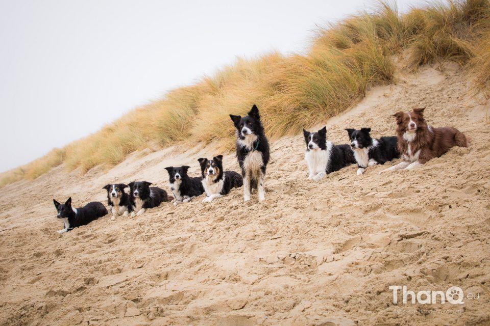 Border collies op het strand bij Brouwersdam in Ouddorp