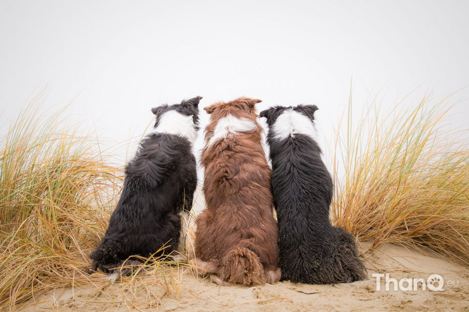 3 generaties border collies op het strand bij Brouwersdam in Ouddorp