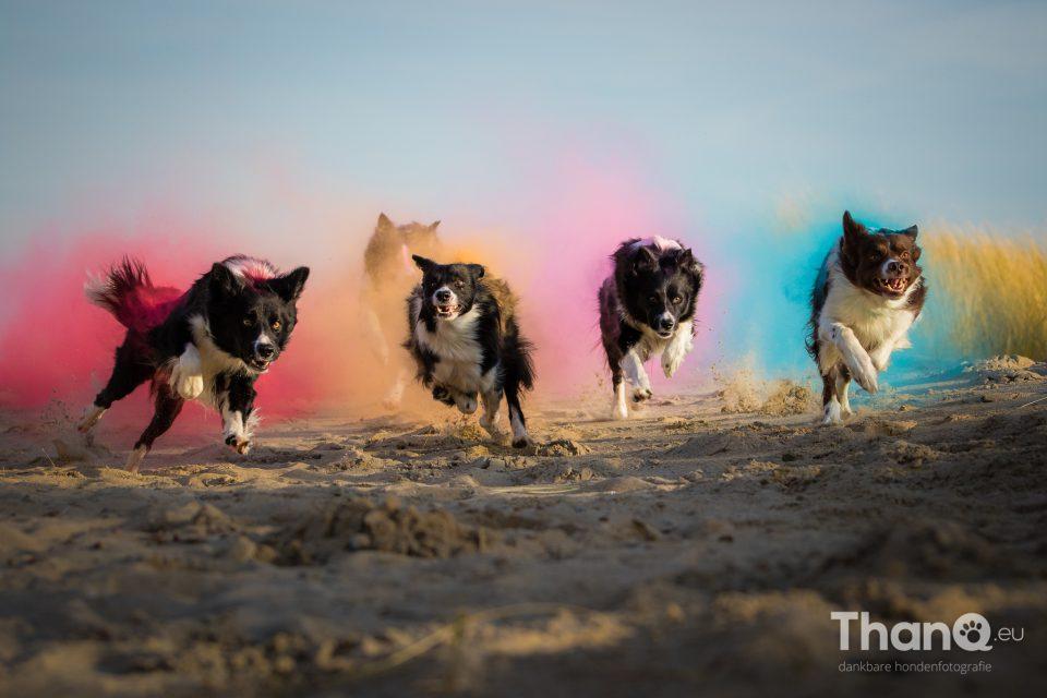 Border collies met holi kleurpoeder trekken een sprintje