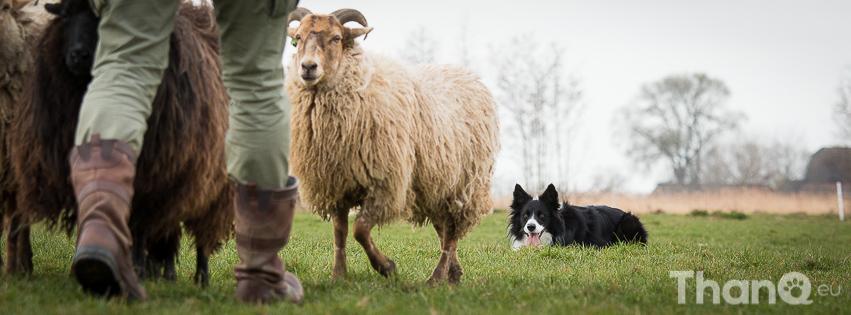 Puck tijdens het schapendrijven